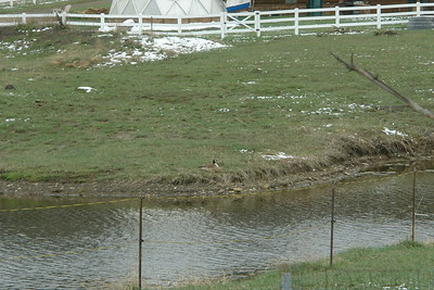 Geese in Pagosa