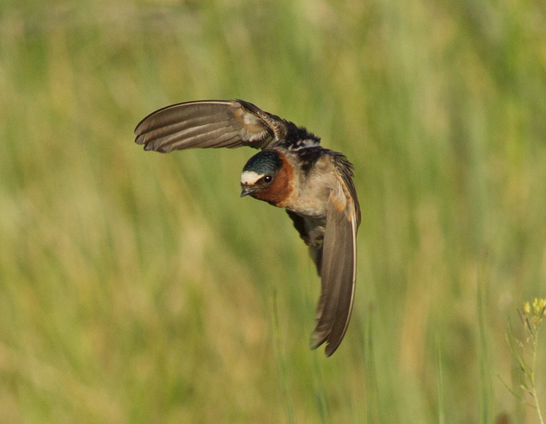 Swallows (Hirundinidae)