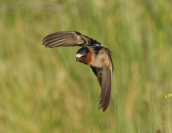 Swallows (Hirundinidae)