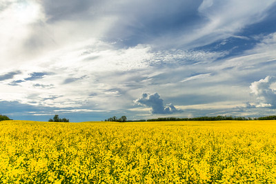 Canola Fields 2016