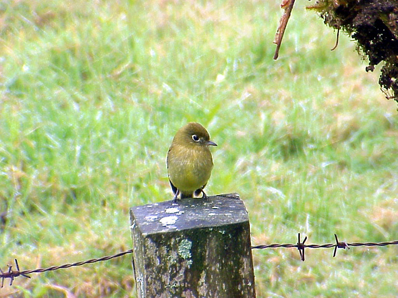 Yellowish Flycatcher 2 at Poas Volcano Lodge Costa Rica 2-10-03 (50898453)