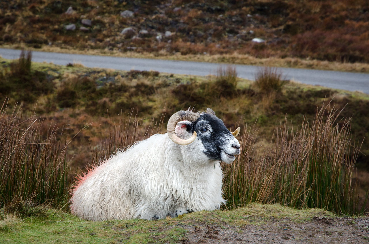NC500 - Applecross - Punk sheep