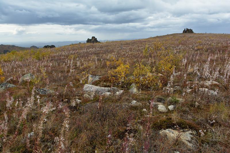 Fireweed on the tundra