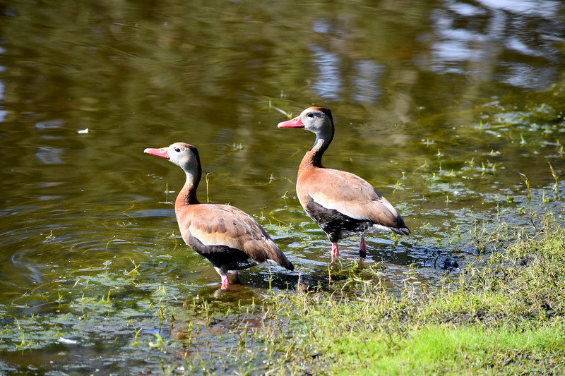 10_23_19 Black Bellied Whistling Ducks.jpg