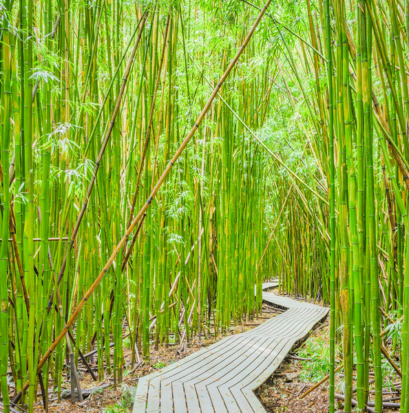 Bamboo Forest, Study 1 (Square), Maui, Hawaii