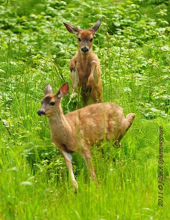 2011-06-01 Deer Tales