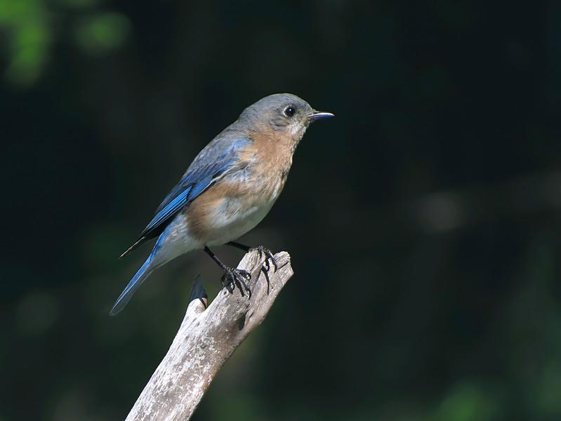 sx40_newgirl_bluebird_boas_004.jpg