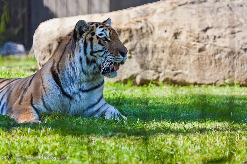 An Amur Tiger at the Calgary Zoo.