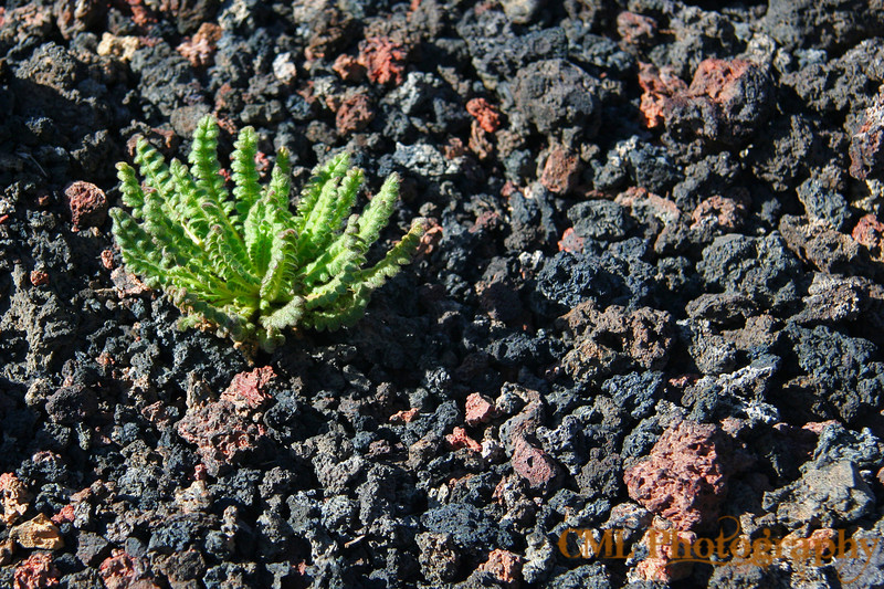 Aside from growing up in a barren landscape, this plant must also have to deal with great heat from the rocks on a sunny summer day.