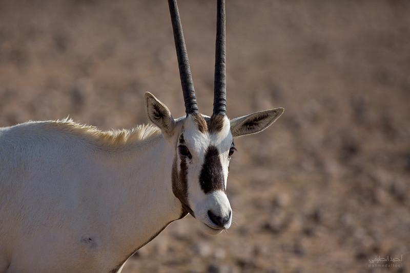 Arabian Oryx (58).jpg