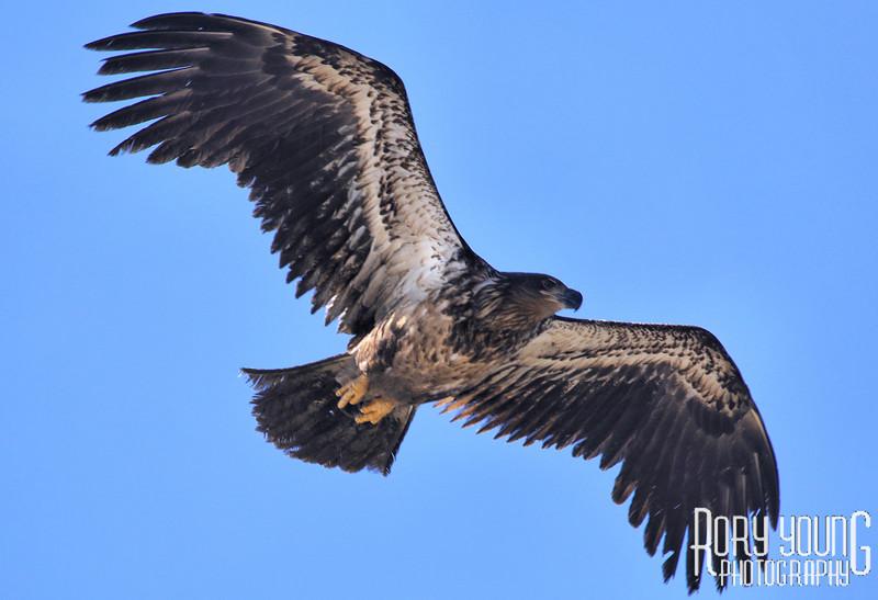 EagleFlyB1.jpg