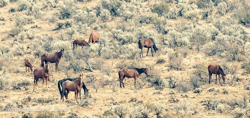 Wild Horses Topinish, WA 9/2021