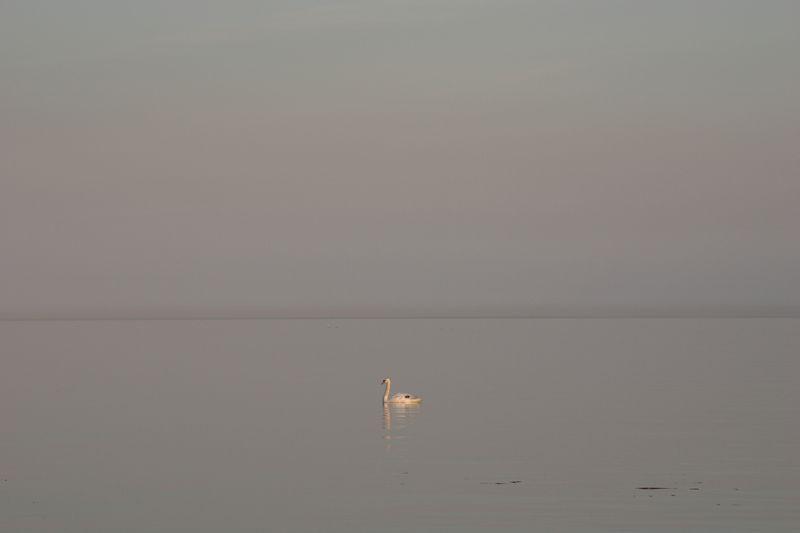Lone swan at sunset -- Toronto