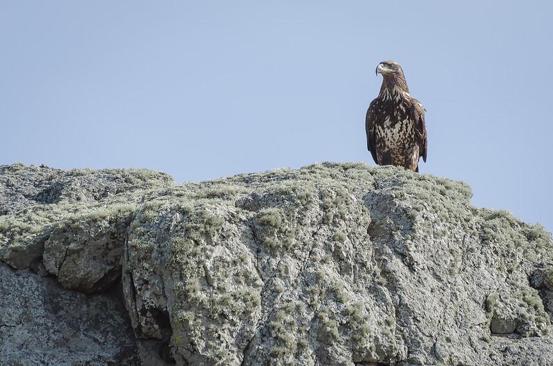 Juvenile bald eagle near the Central Coast of California.