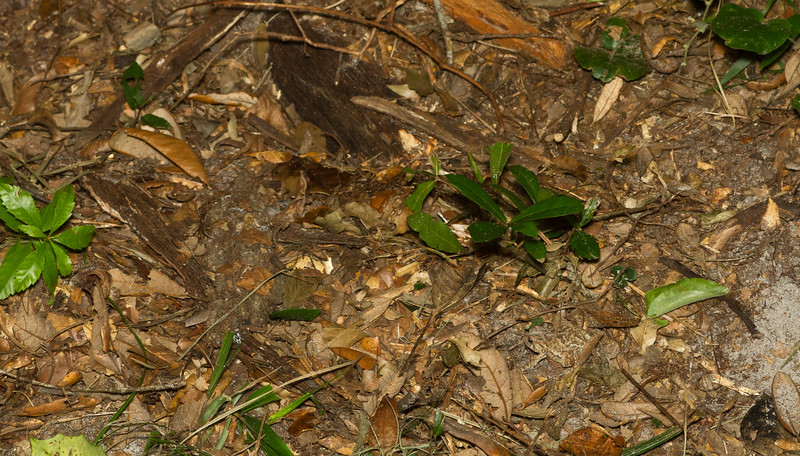 A well-camouflaged toad on the forest floor from the Timucuan Preserve in Florida.