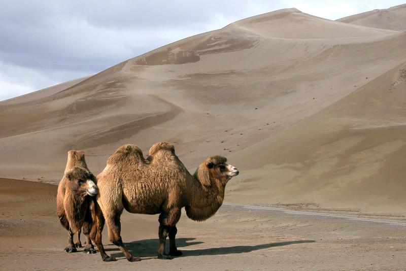 BACTRIAN CAMELS - TAKLAMAKAN DESERT, CHINA