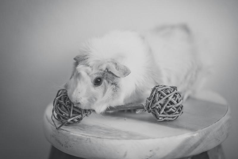 Ginea Pigs-6.jpg