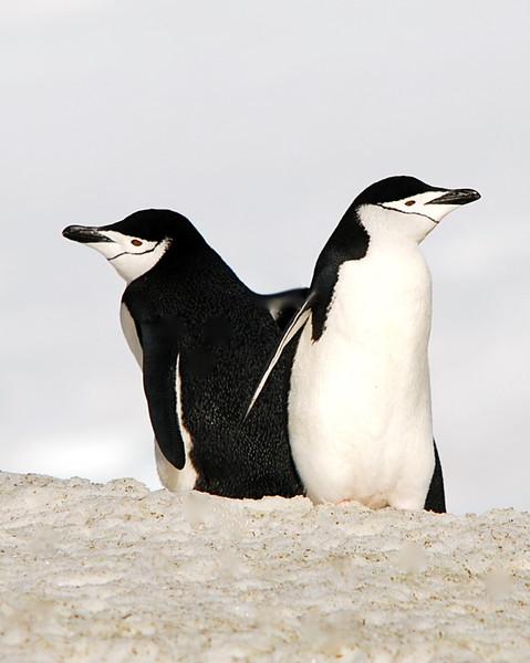 Pair of Chinstrap penguins, Antarctic 2010