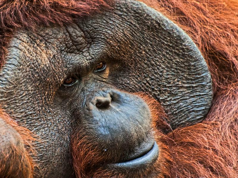 Bali Zoo_Chimp-2.jpg