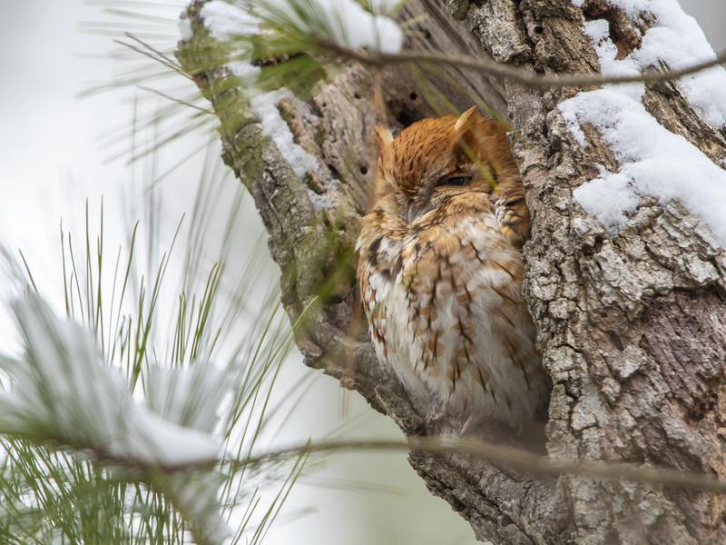 Eastern Screech Owl Red Morph in Snowy Tree Cavity 2.jpg