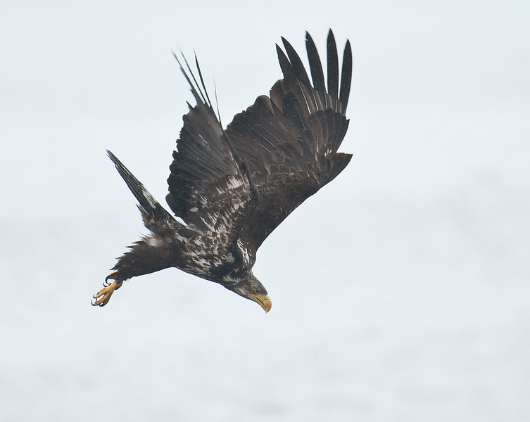 First Year Bald Eagle Diving in the Rain Seabeck WA