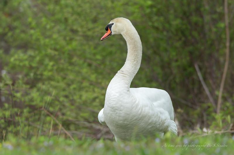 mute swan signed-23.JPG