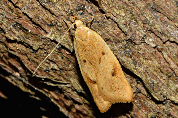 Timber moths (Xyloryctidae)