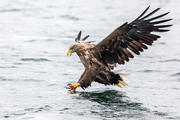 White Tailed Sea Eagles