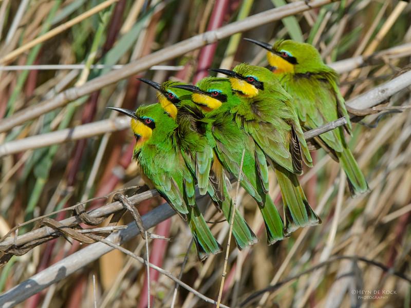 Little Bee-eater, Shakawe, Botswana, Jul 2011-4.jpg