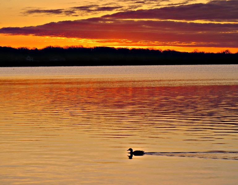 A LONE DUCK AT SUNSET