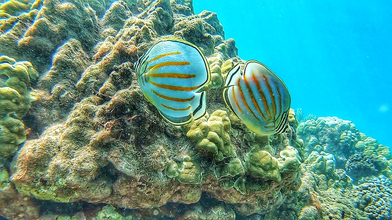 pair of Butterfly Fish underwater in Maui on the Coral reef
