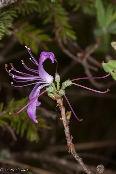 Rhodora (Rhododendron canadense)
