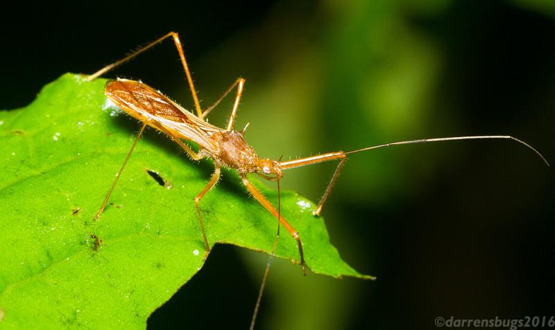 Assassin bug (Reduviidae) from Panama.