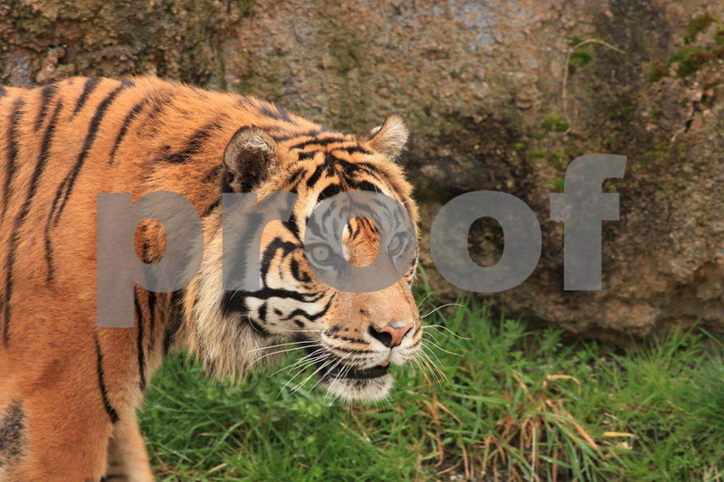 Sumatran tiger 2595.jpg