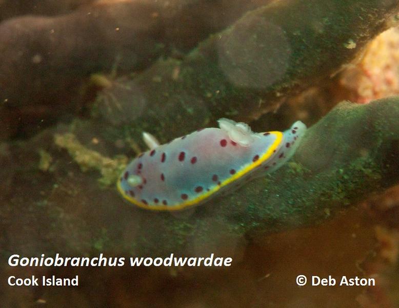 Goniobranchus woodwardae