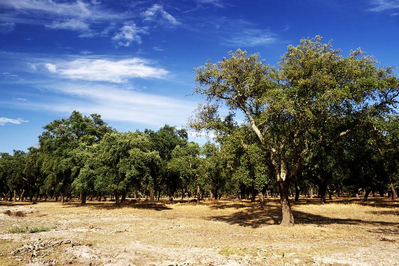 Už jsme fotili vloni, ale ty dlouhé roviny, osázené sady korkových dubů, se neokoukají