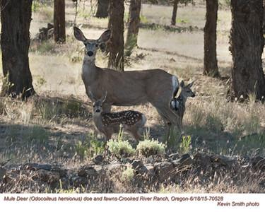 Mule Deer F&J70528.jpg