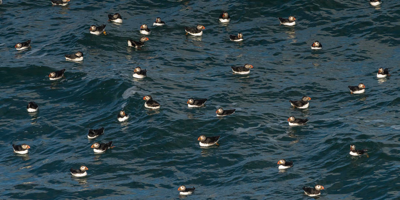 Puffins - still time for rest before there hard work chick season starts.