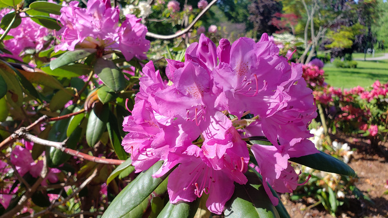 Ontario-Mississauga-PortCredit-RhododendronGarden-14.jpg