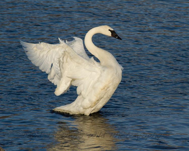 S_Trumpeter Swan_MG_8212.jpg