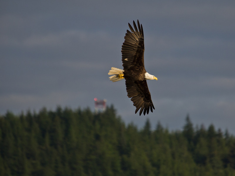 A bald eagle looks for salmon in the Mendenhall River. An airport signal tower is in the background.