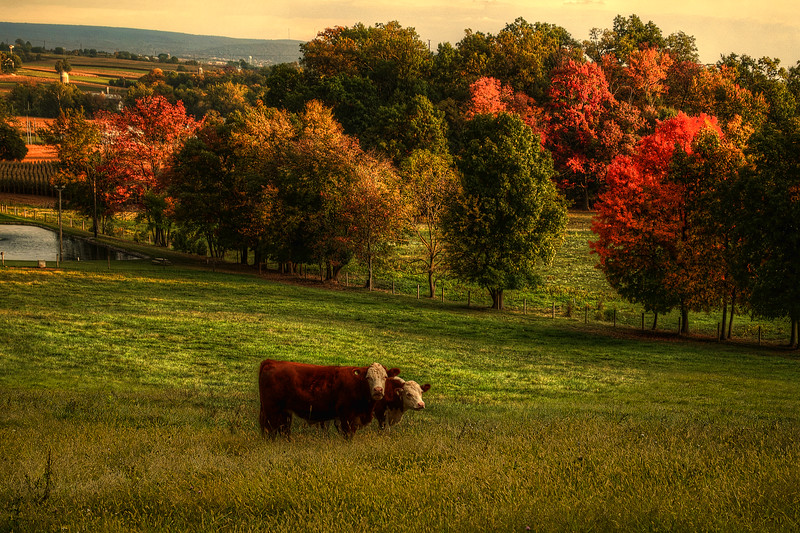Autumn - Cows on hill pasture(p).jpg