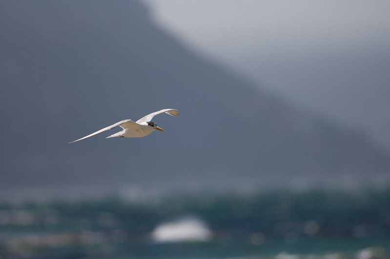 Swift Tern, Boulders Beach, Simons Town