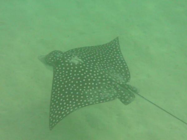 Spotted Eagle Ray. Snorkeling at Carlos Rosario Beach, Culebra. WIngspan 6 plus feet. Depth 20 feet.
