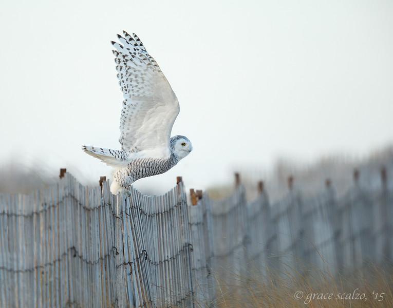 Snowy Owl take off from Snow Fence_O8U6423-Edit.jpg