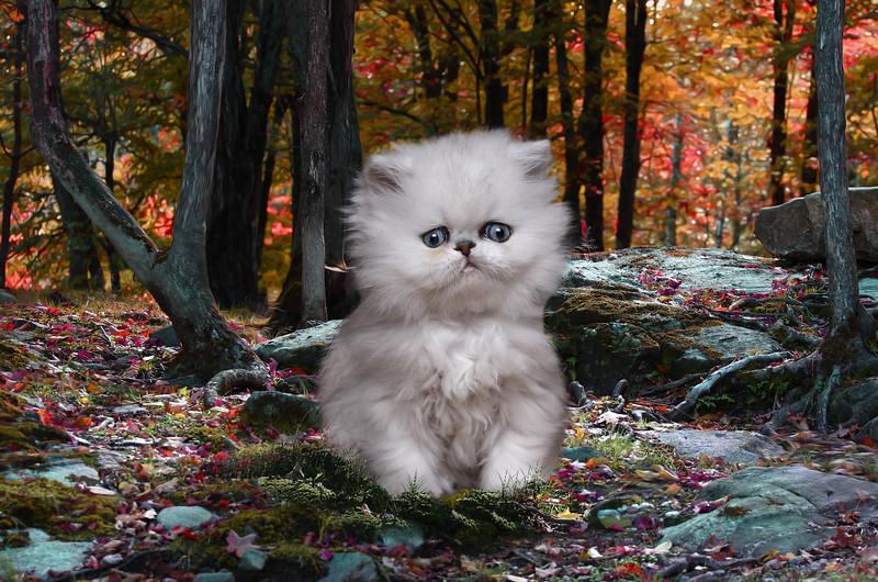 chat-argente-lr6.jpg