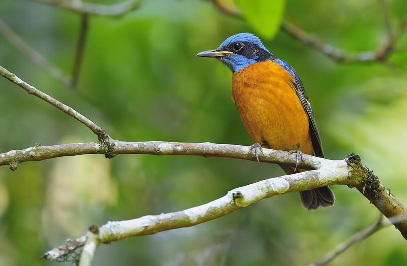Blue-capped-rock-thrush-male-01.jpg