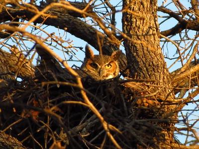 Great Horned Owl nest, 2012