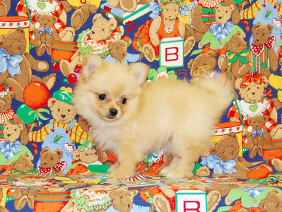 """Sold to Tracy S. ( PUPPY NUMBER POM 795 ) her name is """"Princess Shasha"""""""