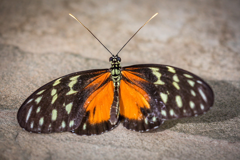 Golden Helicon (Heliconius hecale)